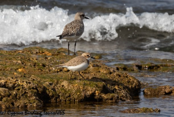 Greater Sandplover, Agia Trias 18th January 2019 (C) Cyprus Birding Tours