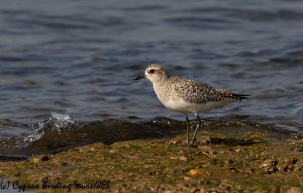 Grey Plover, Agia Trias, 18th January 2019 (c) Cyprus Birding Tours