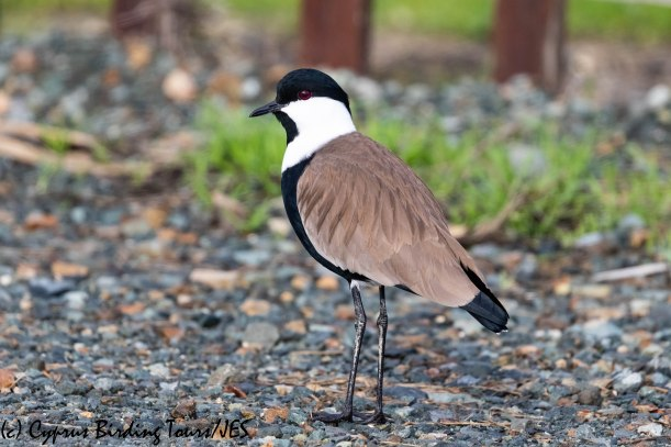 Spur-winged Lapwing, Oroklini Marsh, 5th January 2019 (c) Cyprus Birding Tours