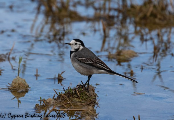 White Wagtail, Oroklini Marsh, 5th January 2019 (c) Cyprus Birding Tours