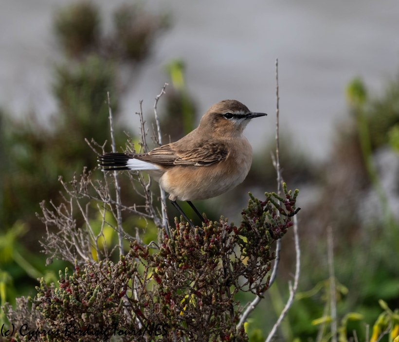 Isabelline Wheatear, Spiros Pool, 7th February 2019 (c) Cyprus Birding Tours