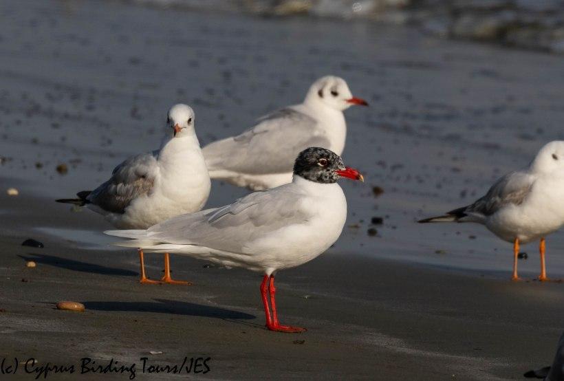 Mediterranean Gull, Oroklini Beach 7th February 2019 (c) Cyprus Birding Tours