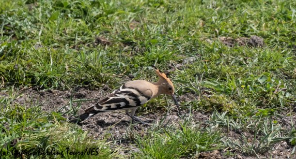 Common Hoopoe, Phasouri 24th March 2019 (c) Cyprus Birding Tours