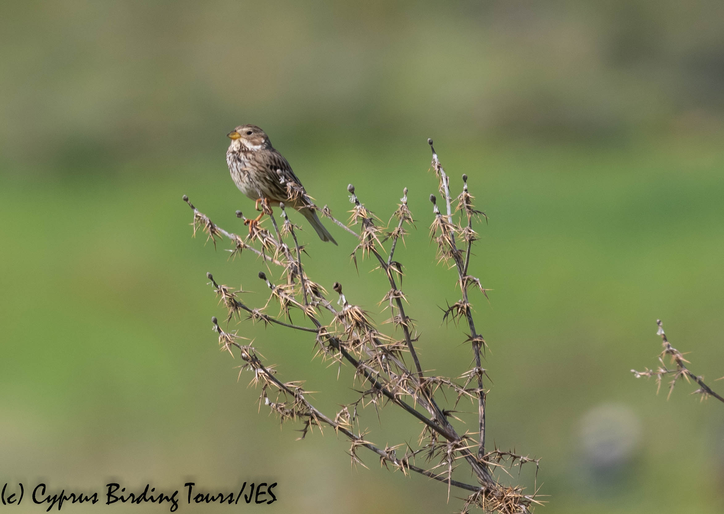Corn Bunting, Anarita Park 23rd March 2019 (c) Cyprus Birding Tours