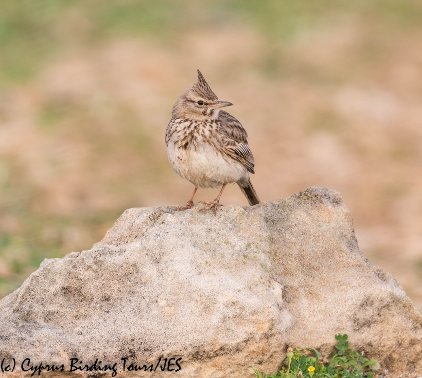 Crested Lark, Paphos 20th March 2019 (c) Cyprus Birding Tours