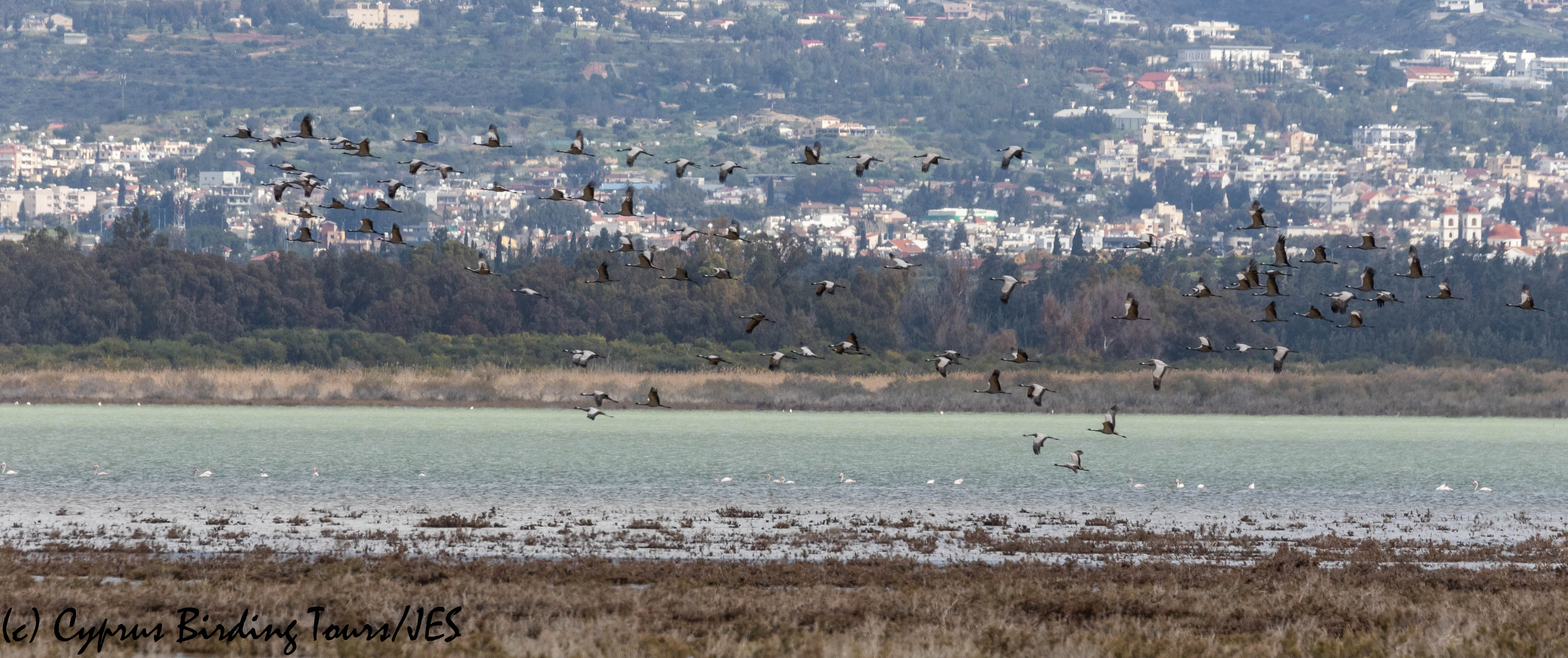 Demoiselle Crane 3, Akrotiri Salt Lake 16th March 2019 (c) Cyprus Birding Tours