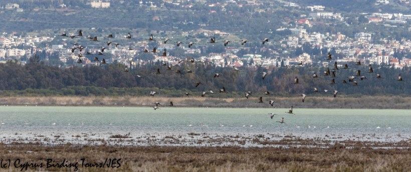 Demoiselle Crane 3, Akrotiri Salt Lake 16th March 2019 (c) Cyprus Birding Tours