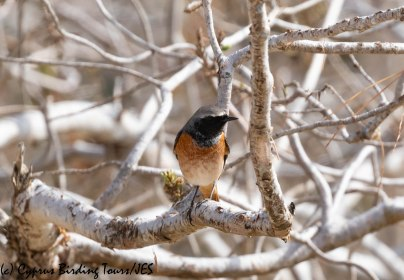 'Ehrenberg's' Redstart, Cape Greco 13th March 2019 (c) Cyprus Birding Tours