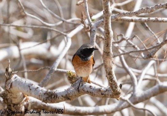 'Ehrenberg's' Redstart, Cape Greco 13th March 2019 (c) Cyprus Birding Tours