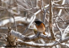 Ehrenberg's Redstart 3, Cape Greco 13th March 2019