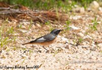 Ehrenberg's Redstart 5, Cape Greco 13th March 2019
