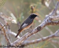 Ehrenberg's Redstart 6, Cape Greco 13th March 2019