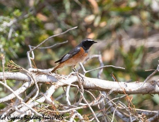 Ehrenberg's Redstart 7, Cape Greco 13th March 2019
