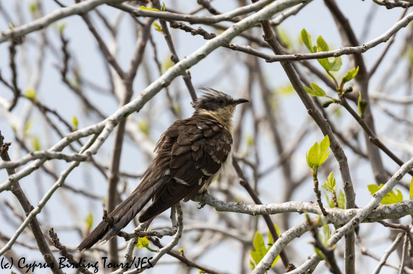 Great Spotted Cuckoo, Phasouri, 16th March 2019 (c) Cyprus Birding Tours