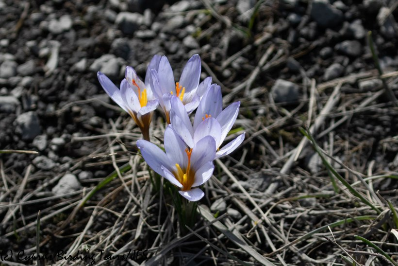 Crocus Troodos 21st March 2019 (C) Cyprus Birding Tours