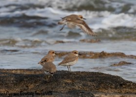 Greater Sandplover, Agia Thekla 13th March 2019 (c) Cyprus Birding Tours