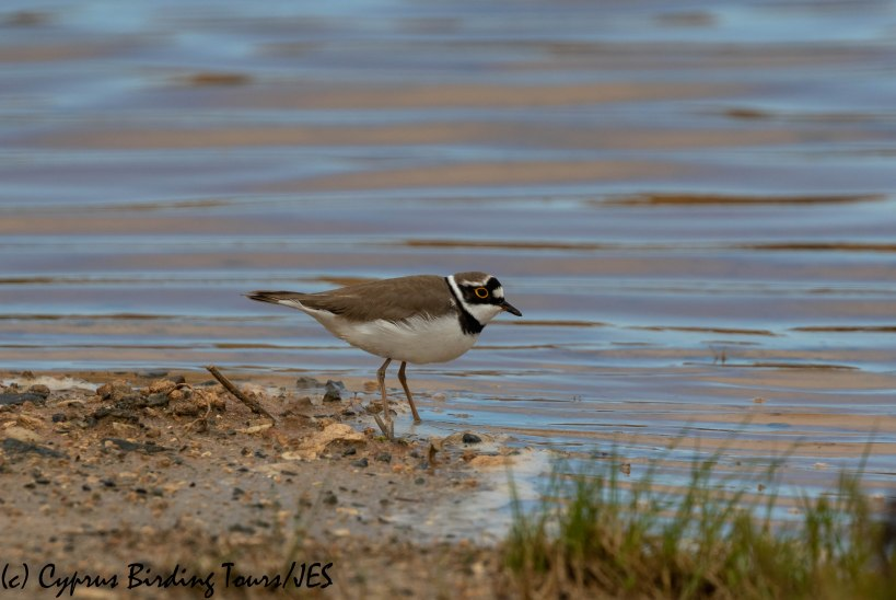 Little Ringed Plover, Phasouri, 16th March 2019 (c) Cyprus Birding Tours