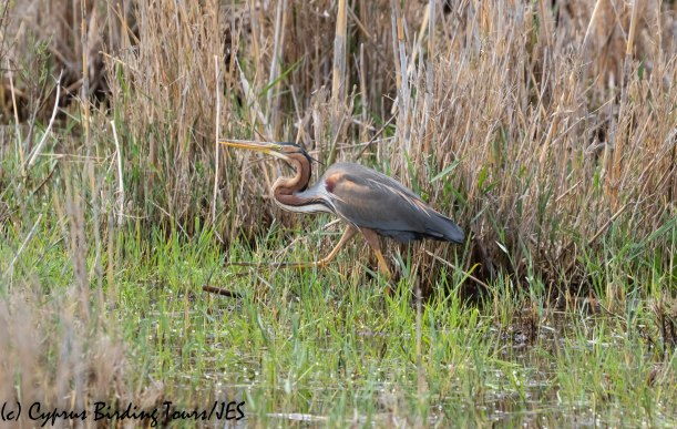 Purple Heron, Phasouri, 16th March 2019 (c) Cyprus Birding Tours