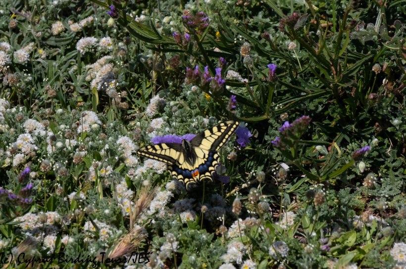 Swallowtail, Timi beach 25th March 2019 (c) Cyprus Birding Tours