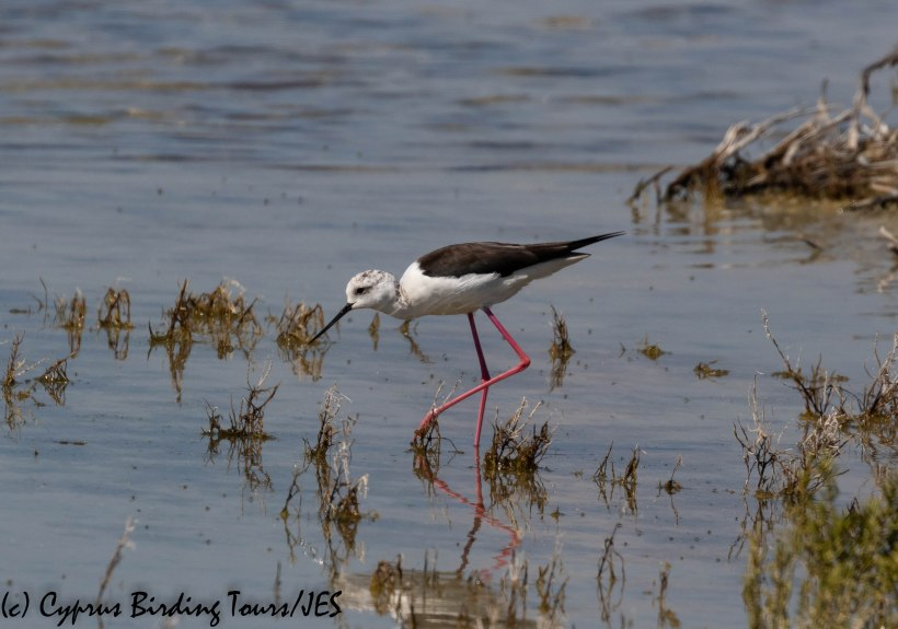Black-winged Stilt, Spiros Pool, 18th April 2019 (c) Cyprus Birding Tours