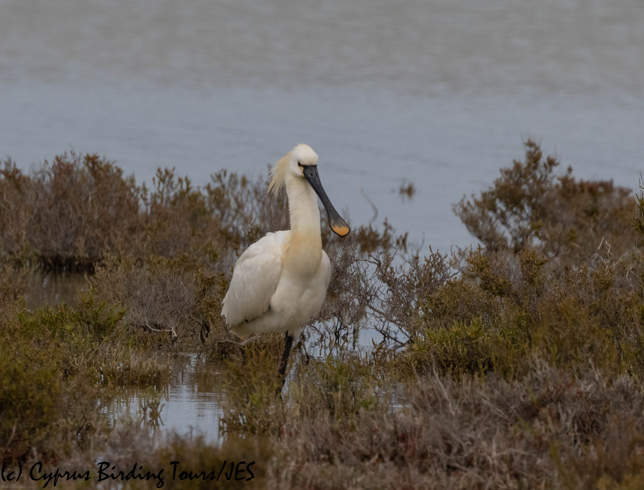 Eurasian Spoonbill, Lady's Mile 16th April 2019. (c) Cyprus Birding Tours