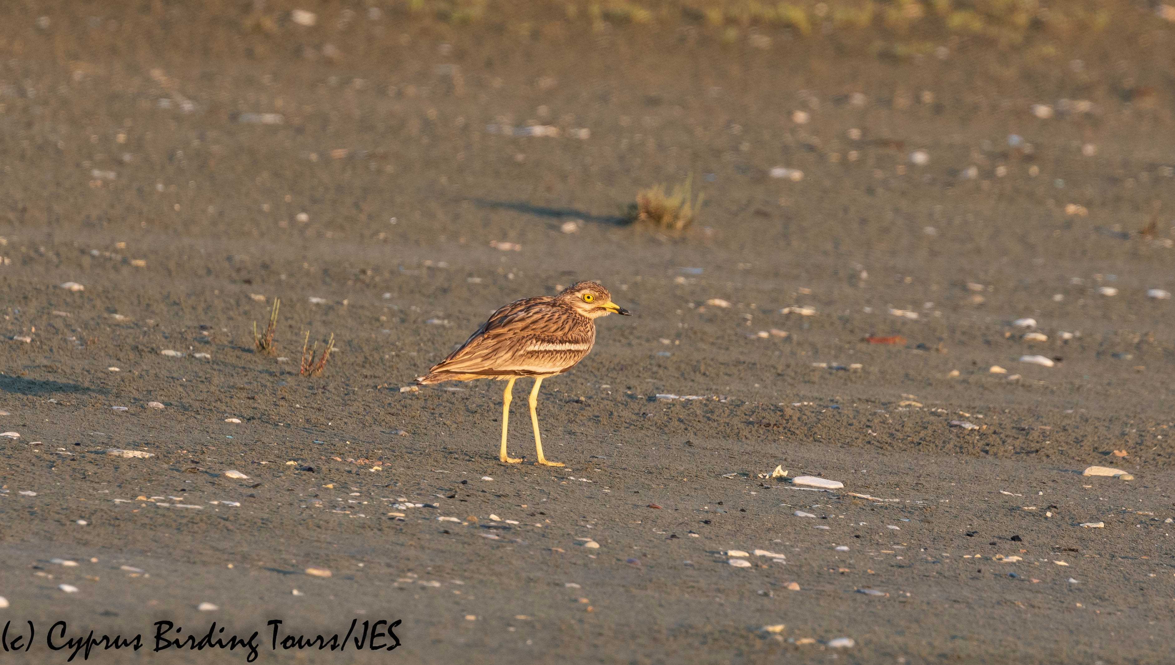 Eurasian Stone Curlew, Larnaca 19th April 2019 (c) Cyprus Birding Tours