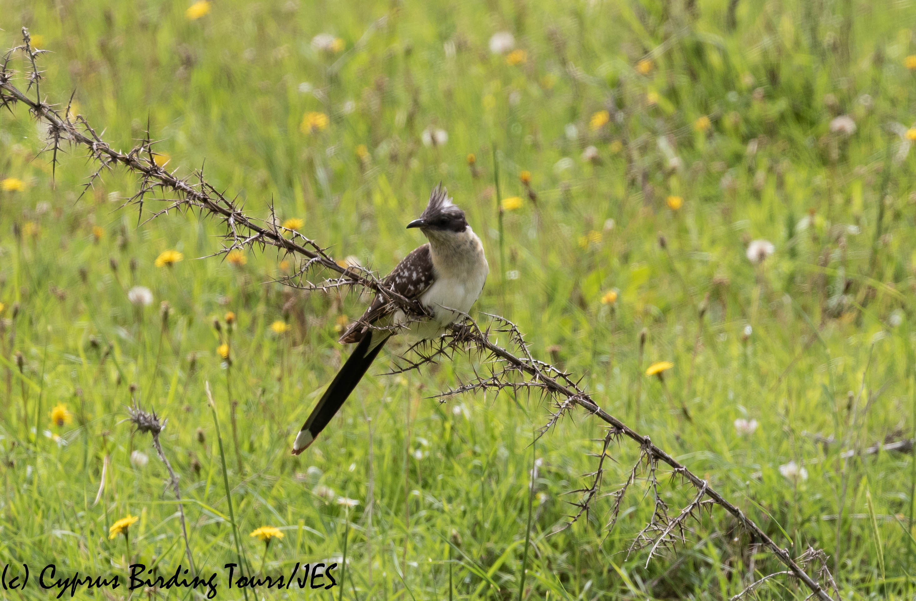 Great Spotted Cuckoo, Anarita Park, 14th April 2019 (c) Cyprus Birding Tours