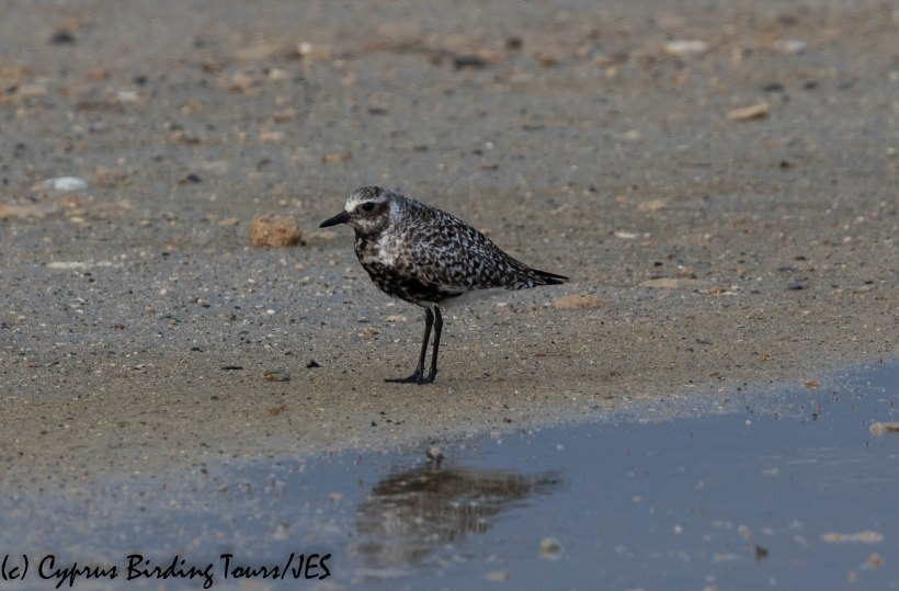Grey Plover, Spiros Pool, 18th April 2019 (c) Cyprus Birding Tours