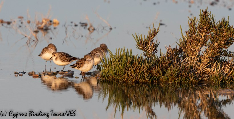 Little Stint, Larnaca 19th April 2019 (c) Cyprus Birding Tours