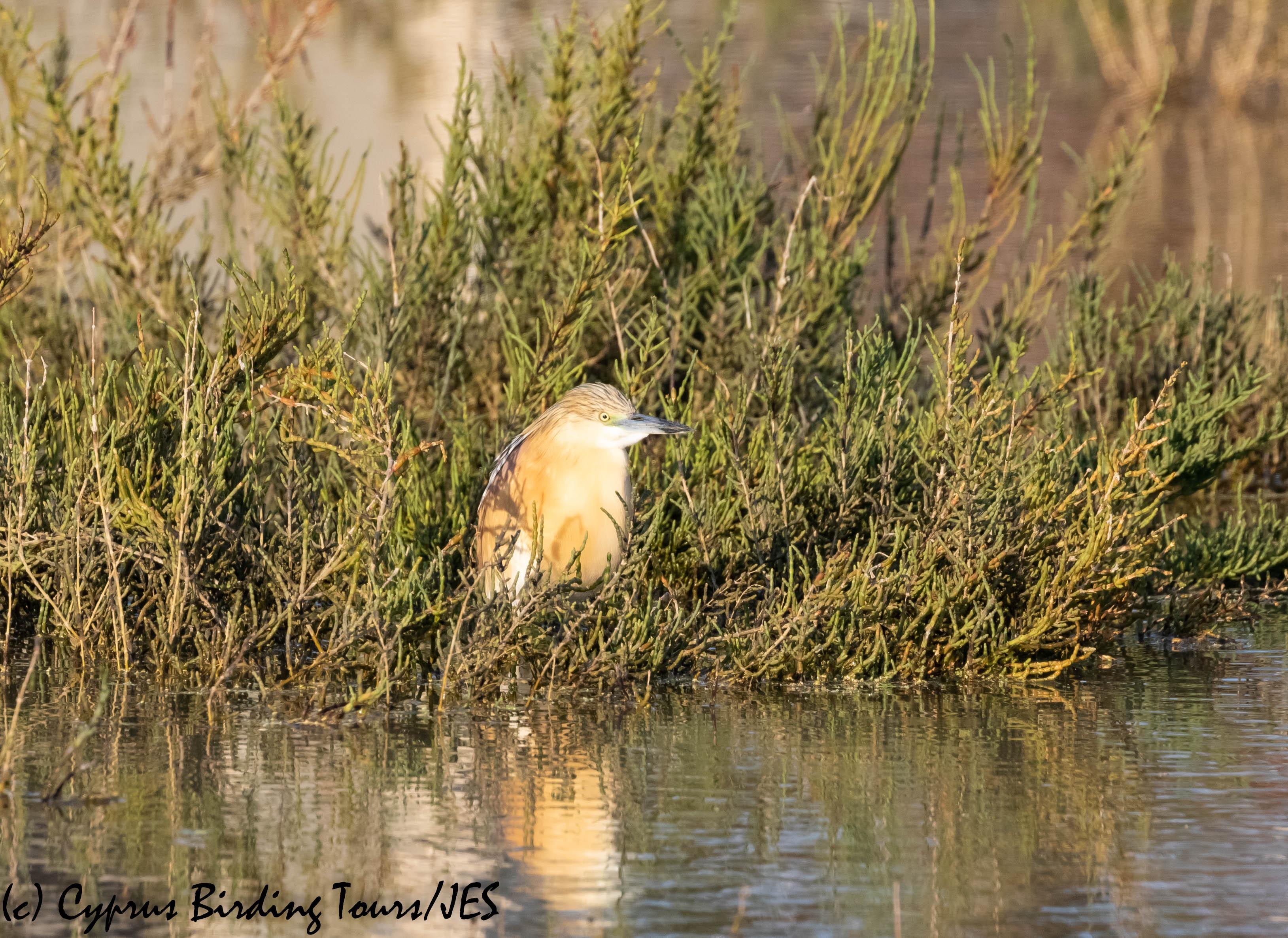 Squacco Heron, Larnaca, 19th April 2019 (c) Cyprus Birding Tours