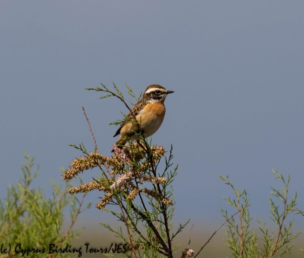Whinchat, Spiros Pool 8th April 2019 (c) Cyprus Birding Tours