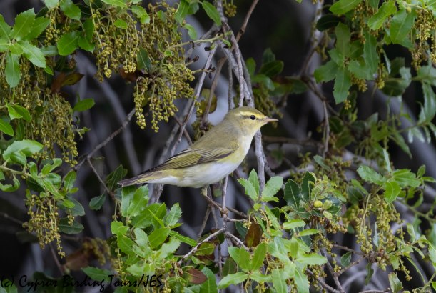 Wood Warbler, Androlikou 12th April 2019 (c) Cyprus Birding Tours