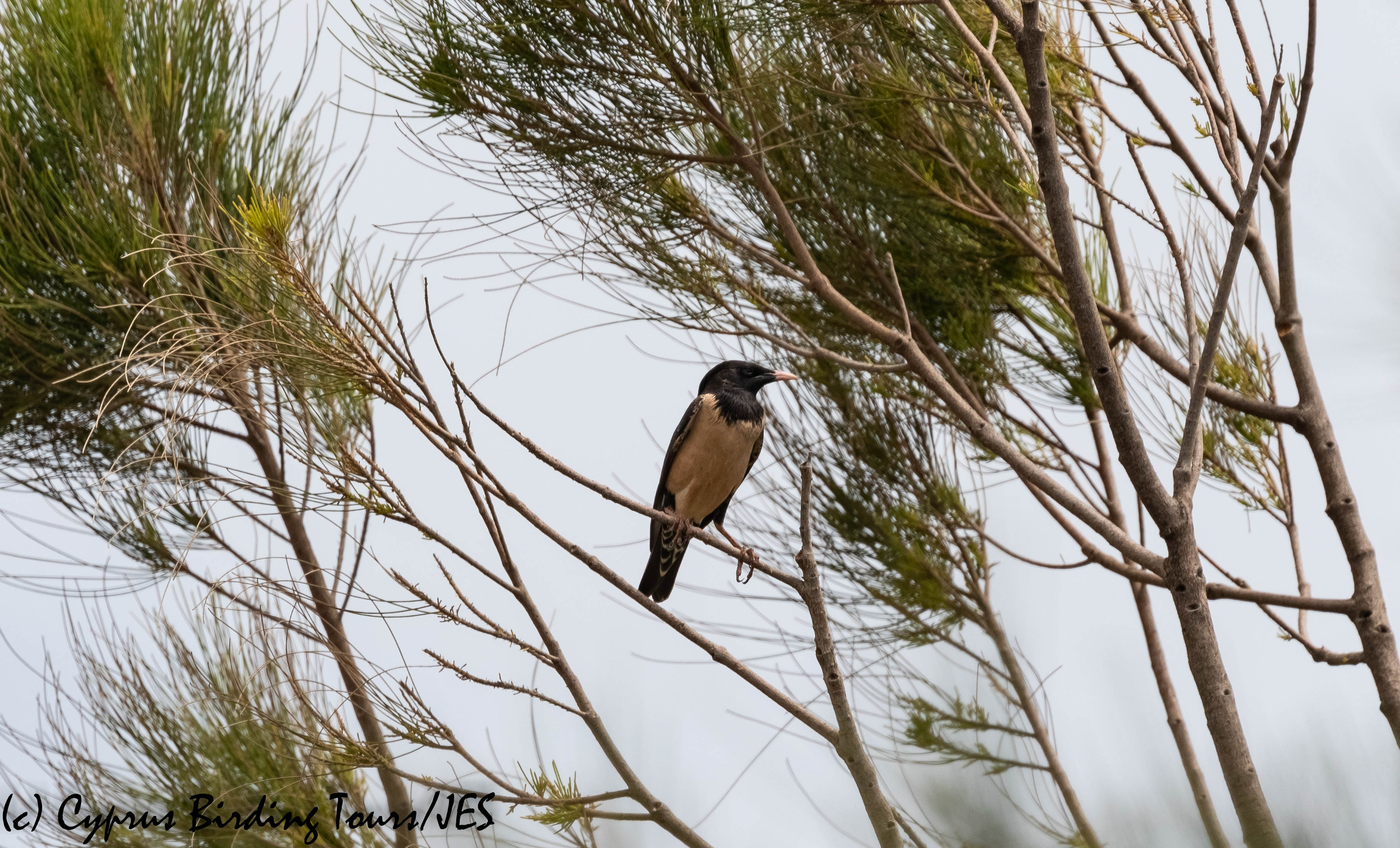 Rose-coloured Starling, Akrotiri 24th May 2019 (c) Cyprus Birding Tours