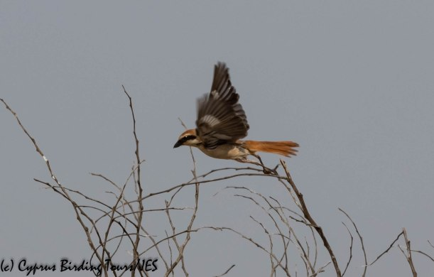 Turkestan (Red-tailed) Shrike, Larnaca, 22nd May 2019 (c) Cyprus Birding Tours