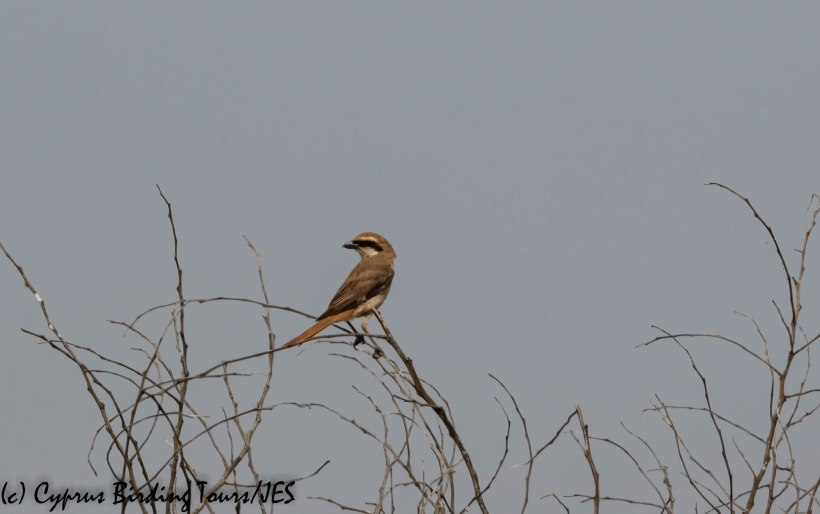 Turkestan Shrike, Larnaca, 22nd May 2019 (c) Cyprus Birding Tours