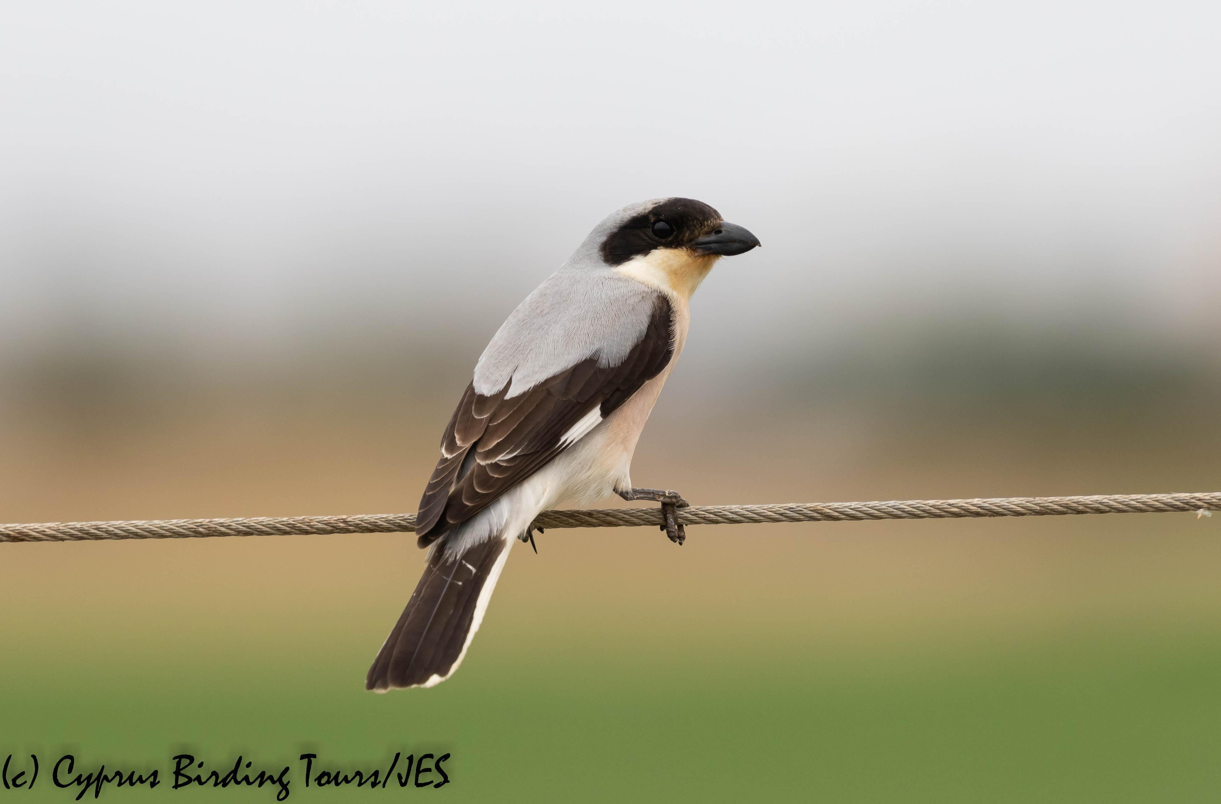 Lesser Grey Shrike, Pervolia 4th June 2019 (c) Cyprus Birding Tours