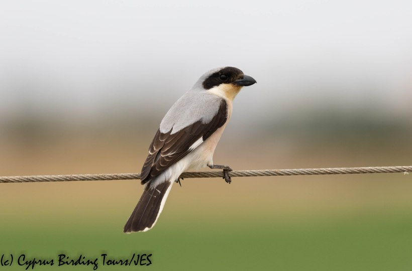 Lesser Grey Shrike, Pervolia 4th June 2019 (c) Cyprus Birding Tours