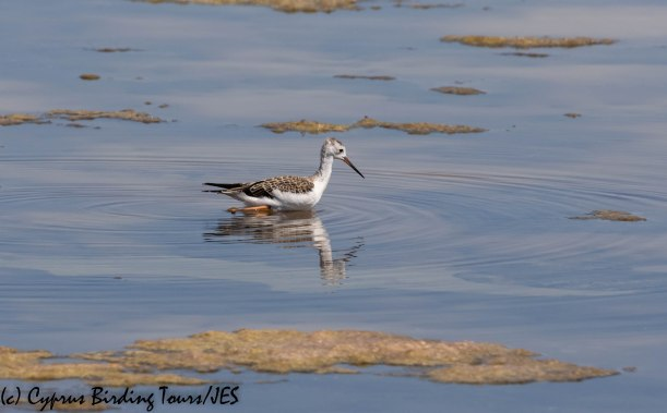 Black-winged Stilt chick, Larnaca 3rd July 2019 (c) Cyprus Birding Tours