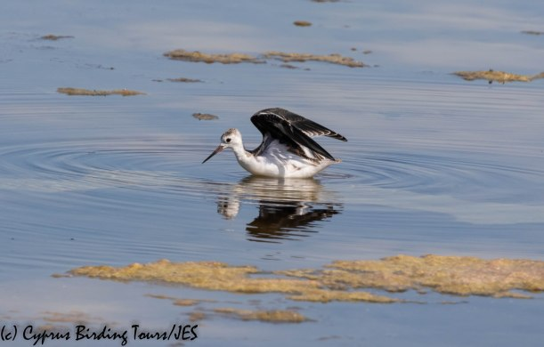 Black-winged Stilt chick, Larnaca, 3rd July 2019 (1 of 1)