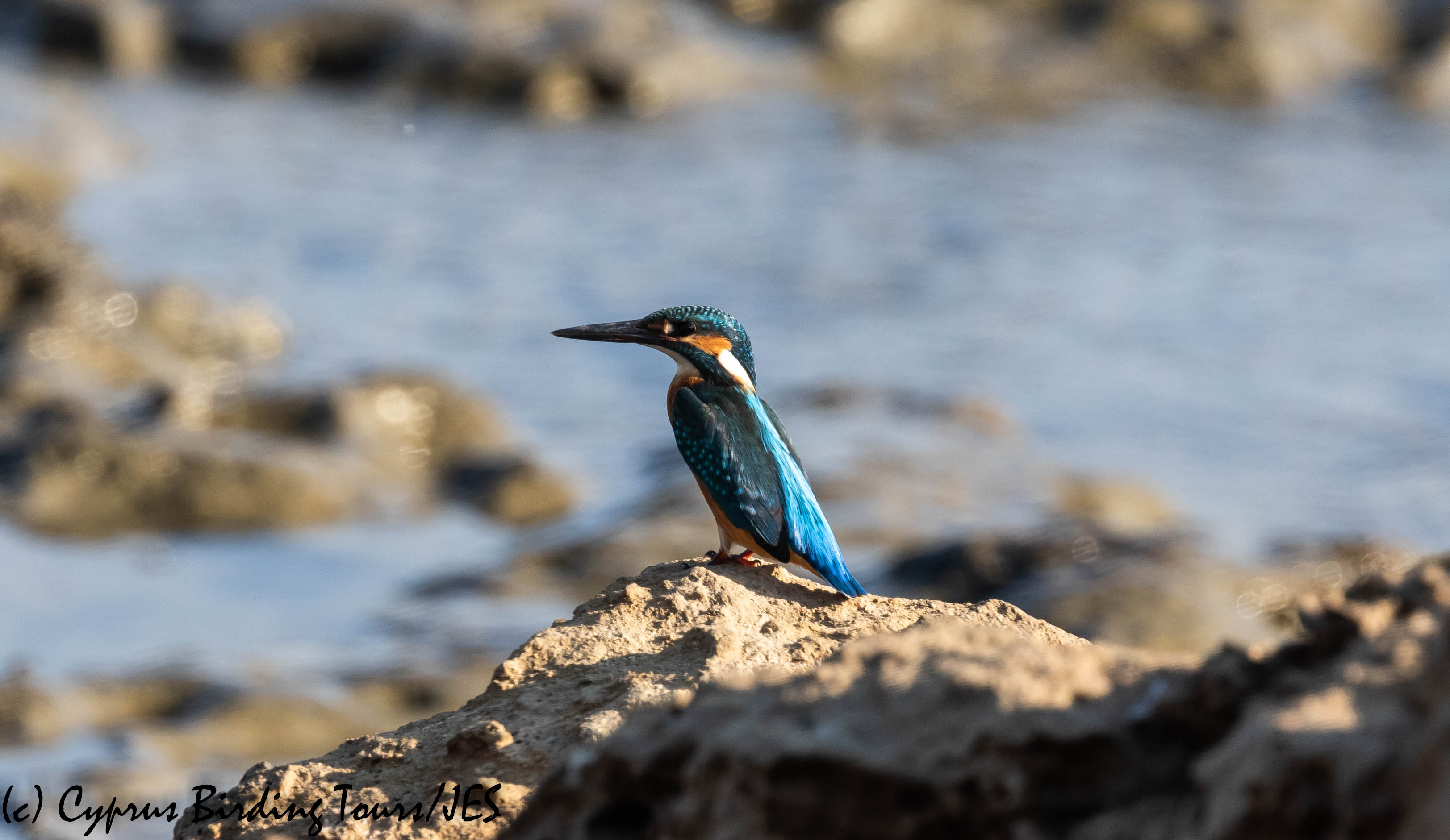 Common Kingfisher, Larnaca, 24th August 2019 (c) Cyprus Birding Tours