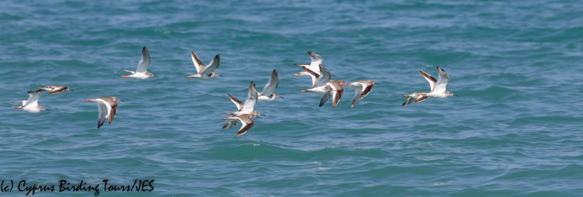 Common Redshank, Polis Chrysochou Bay, 26th August 2019 (c) Cyprus Birding Tours