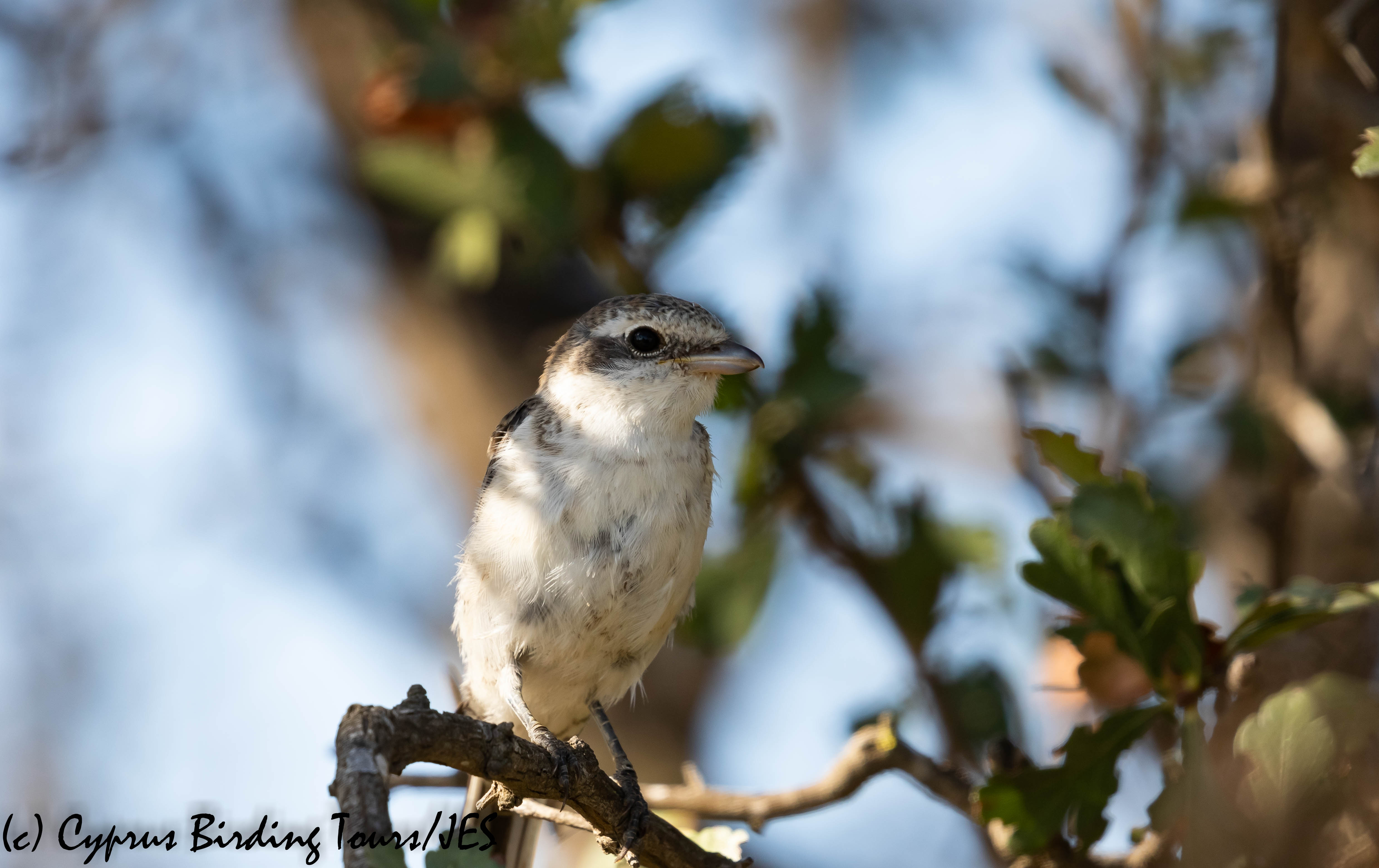 Masked Shrike juvenile, Larnaca 10th August 2019 (c) Cyprus Birding Tours
