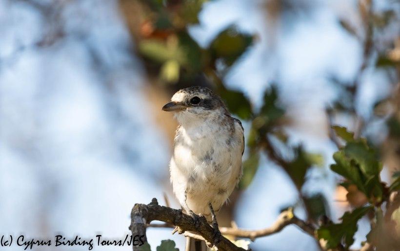 Masked Shrike juv 2, Larnaca 10th August 2019