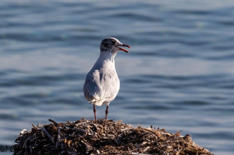 Mediterranean Gull, Larnaca 25th August 2019 (c) Cyprus Birding Tours