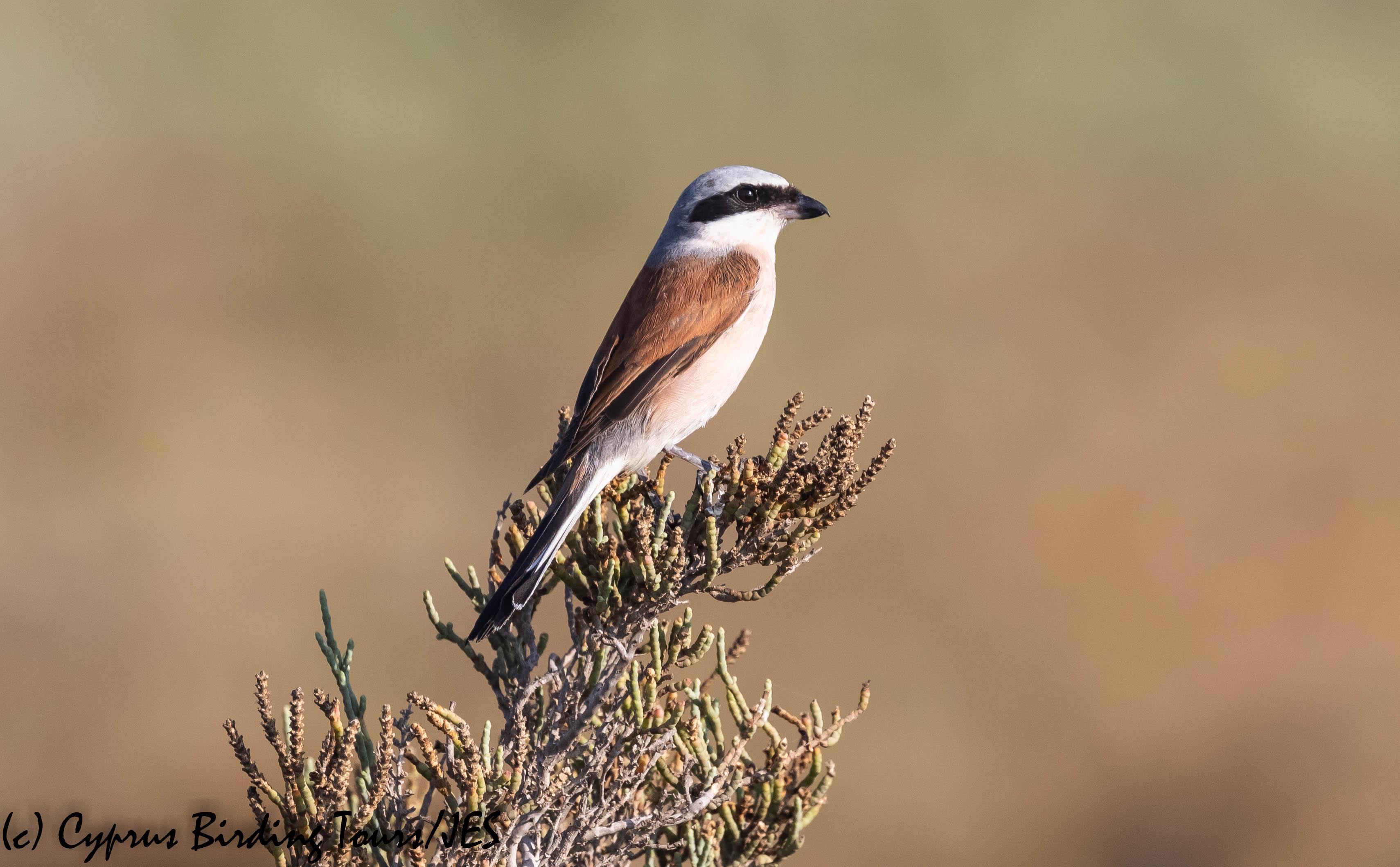 Red-backed Shrike, Spiros Pool 28th August 2019 (c) Cyprus Birding Tours