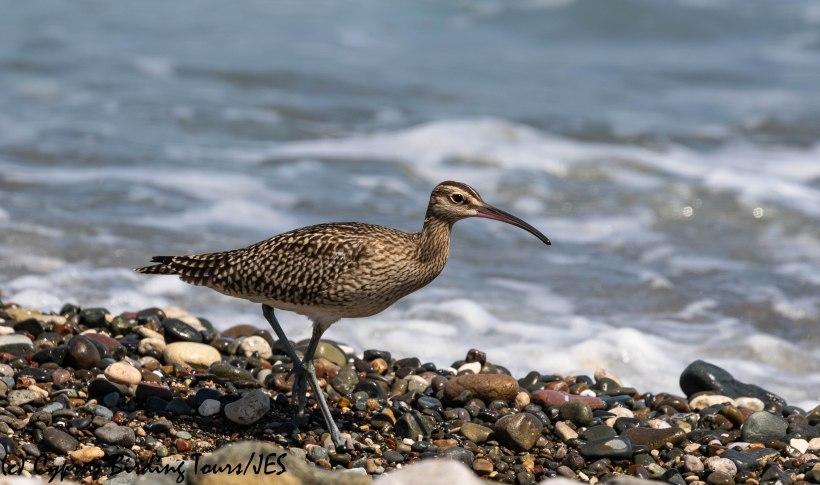 Whimbrel, Polis Chrysochou 13th August 2019 (c) Cyprus Birding Tours