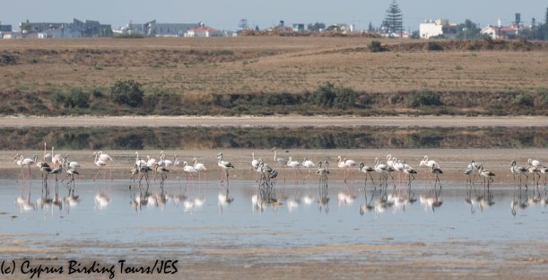 Greater Flamingo, Larnaca Salt Lake 16th September 2019 (c) Cyprus Birding Tours