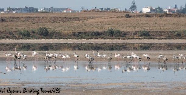 Greater Flamingo, Larnaca Salt Lake 16th September 2019 (c) Cyprus Birding Tours