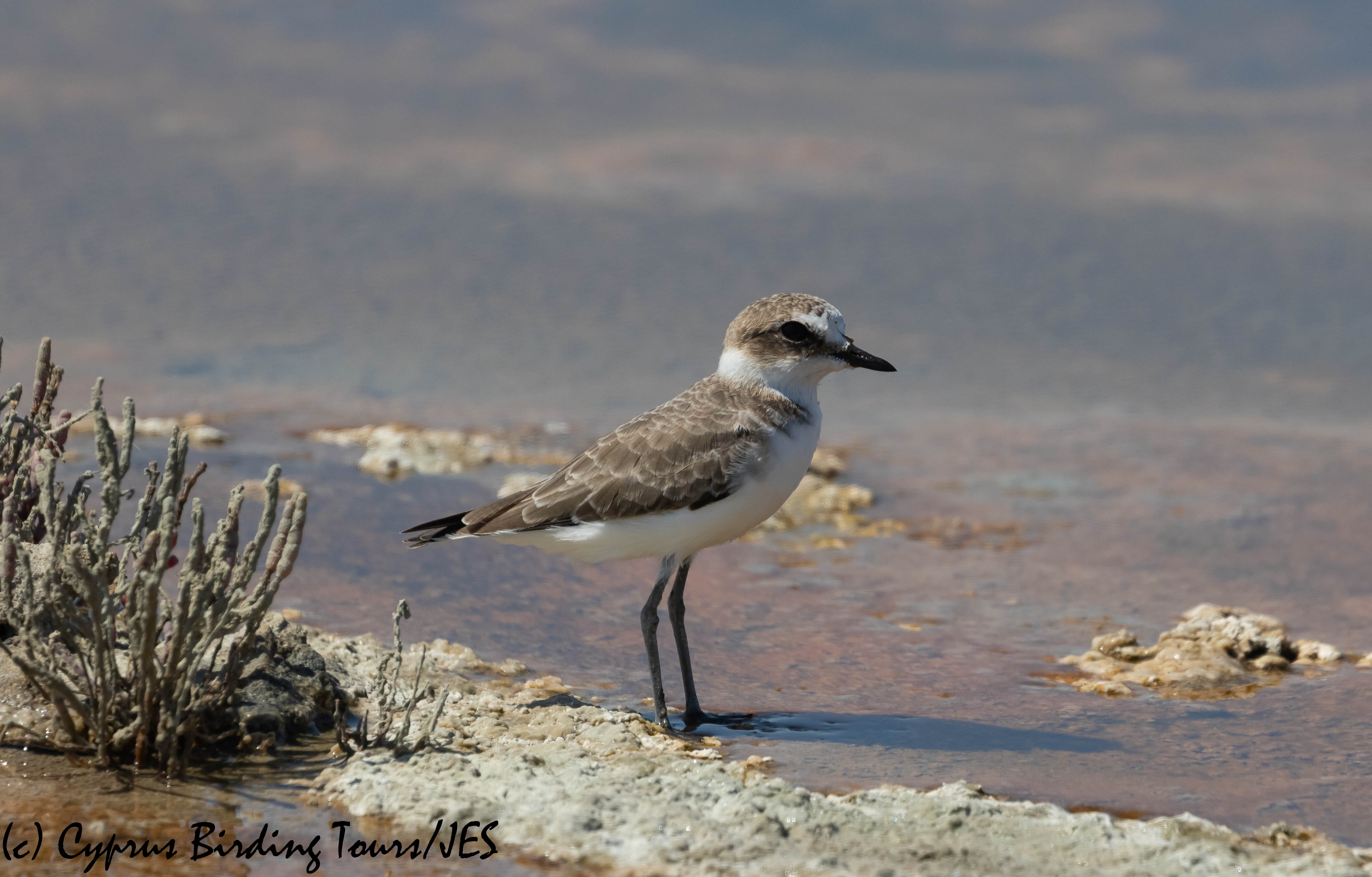 Kentish Plover, Lady's Mile 13th September 2019 (c) Cyprus Birding Tours