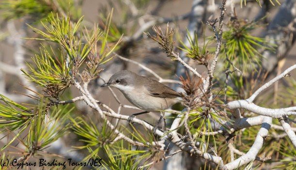 Lesser Whitethroat, Cape Greco 2nd September 2019 (c) Cyprus Birding Tours